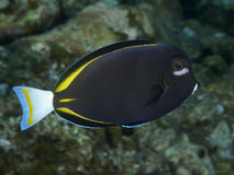 Surgeonfish Whitecheek рыб коралла Стоковое фото RF