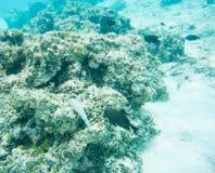Surgeonfish, Wrasse och dominobrickaung ogift kvinna Royaltyfri Foto