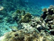 Surgeonfish y corales rayados Imágenes de archivo libres de regalías