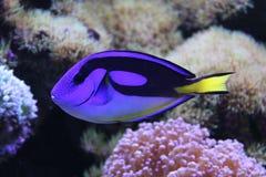 SurgeonfishParacanthurus hepatus royaltyfria foton