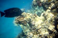 Surgeongish delante del coral Fotos de archivo libres de regalías