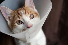 After surgery. Photo of a young ginger tomcat in a plastic Buster collar Stock Photo