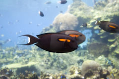 SurgFsh. Orange-spot Surgeonfish (Acanthurus olivaceus) swimming over coral reef Stock Photography