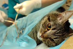 Surgical sterilization of cat Stock Image