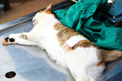 Surgical sterilization of cat Stock Photo