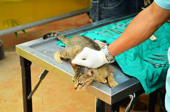 Surgical sterilization of cat Stock Photography