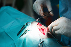 Surgical Suturing at a Vet Clinic Royalty Free Stock Image