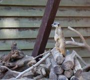 Suriсat (Suricata suricatta) Stock Images