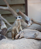 Suriсat (Suricata suricatta) Royalty Free Stock Image