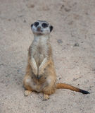 Suriсat (Suricata suricatta) Royalty Free Stock Photography