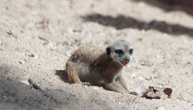 Suri�at (Suricata suricatta) Stock Photos