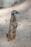 Suriсat (海岛猫鼬类suricatta) 库存图片