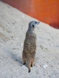 Suriсat (海岛猫鼬类suricatta) 免版税库存照片