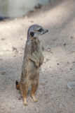Suri?at (Suricata suricatta) Stockbild