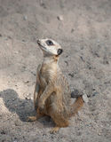 Suri?at (Suricata-suricatta) Stock Foto