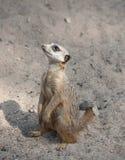 Suri?at (suricatta do Suricata) Foto de Stock