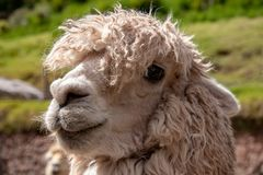 A Suri Alpaca in the Andes Mountains of Southern Peru. Closeup View of an Alpaca Similar to a Llama but Smaller in the Andes Mountains of Southern Peru stock photo