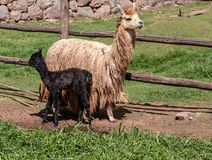 A Suri Alpaca in the Andes Mountains of Southern Peru. A Suri Alpaca, similar to a Llama, but smaller in the Andes Mountains of Southern Peru with her newborn royalty free stock photo