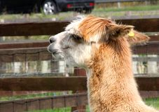 Suri alpaca. An alpaca is a domesticated species of South American camelid. It resembles a small llama in appearance Stock Photos
