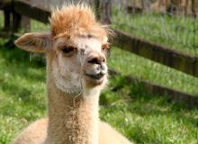 Suri alpaca. An alpaca is a domesticated species of South American camelid. It resembles a small llama in appearance Royalty Free Stock Image