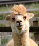 Suri alpaca Stock Photo