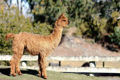 Suri Alpaca Royalty Free Stock Photos