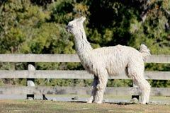 Suri Alpaca Stock Image