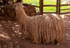 A Suri Alpaca in the Andes Mountains of Southern Peru. A Suri Alpaca Similar to a Llama but Smaller in the Andes Mountains of Southern Peru stock photography