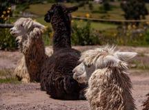 Suri-Alpaka in den Anden-Bergen von Peru stockbilder