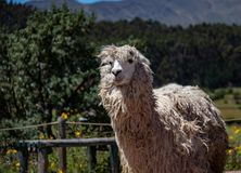 Suri-Alpaka in den Anden-Bergen von Peru stockbild