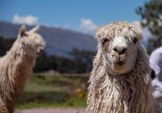 Suri-Alpaka in den Anden-Bergen von Peru stockfotos