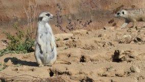 Suricata стоя на предохранителе Любознательное meerkat видеоматериал