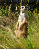 Suricata. Attentively observes to warn royalty free stock photos