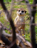Suricata. Attentively observes to warn royalty free stock image