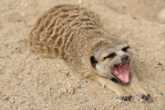 Suricata. Baring its sharp teeth Stock Images