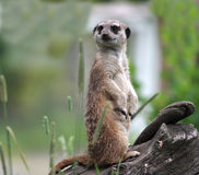 Suricata Stock Photography