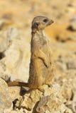 suricata Arkivfoton