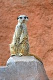 Suricata. Standing on the rock Royalty Free Stock Photos