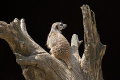 Suricata Photo stock
