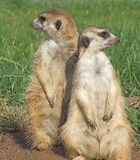 suricata Royalty Free Stock Photos