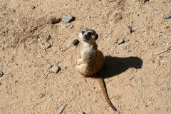 Suricata Royalty Free Stock Image