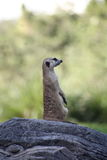 Suricata. The small mammal called Suricata (also called as Meerkat) which is from a Mongoose in an alert pose on a rock Royalty Free Stock Images