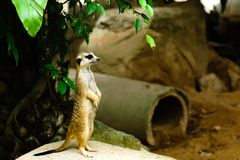Suricata alerta de vista engraçado Suricatta do meerkat que está no gua fotografia de stock royalty free