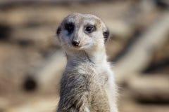Suricata che sta su una guardia Meerkat curioso Fotografia Stock Libera da Diritti