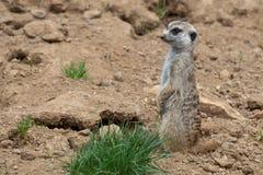 Suricata che sta su una guardia Meerkat curioso Fotografie Stock