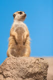 Suricata with copy space. Meerkat (Suricata suricata) with copy space Royalty Free Stock Photos