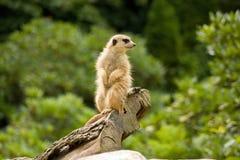 Suricata dans un zoo Photographie stock libre de droits