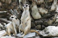 Suricata de deux Meerkat Photo libre de droits