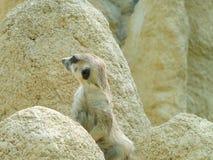 Suricata de Meerkat que se sienta en una roca Fotos de archivo