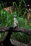 Suricata en parque zoológico Imagen de archivo libre de regalías